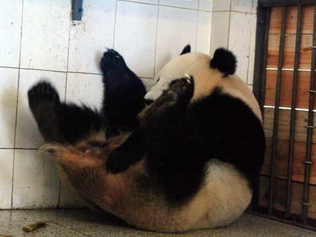 组图:震后第三只熊猫在四川雅安诞生