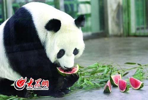 济南动物园一只大熊猫在防空洞纳凉时死亡(图)