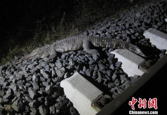 铁轨旁的鳄鱼尸体 苍雁 摄
