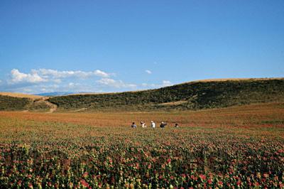旅游特辑:新疆鲜花之旅
