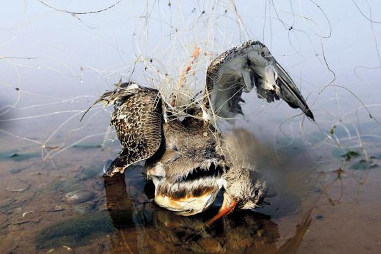 被天网缠住已经死亡的水鸟。