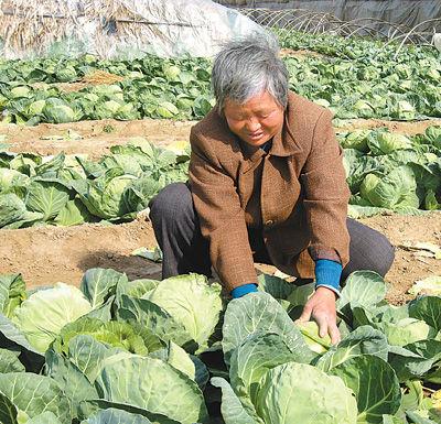 虽然菜价暴跌,为了减少损失,张宗英还是每天一早来到菜地收割卷心菜。 本报记者 陈仁泽摄