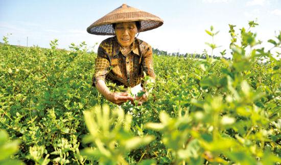 地脊东方平邑县金银花栽种中存放在普遍泛用募化学农药的即兴象。 CFP 供图