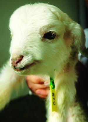 大绵羊图片大全可爱