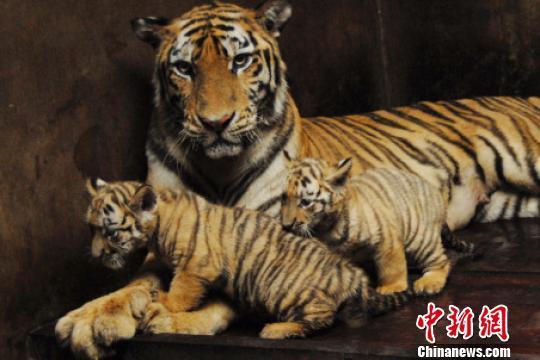 深圳野生动物园两只虎宝宝长势喜人