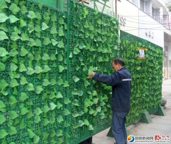邵阳市城区占道施工绿篱围挡为城市增添绿色风景