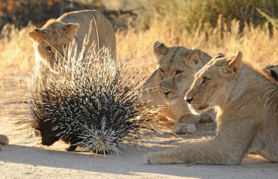 这只狮子正视图将豪猪刺