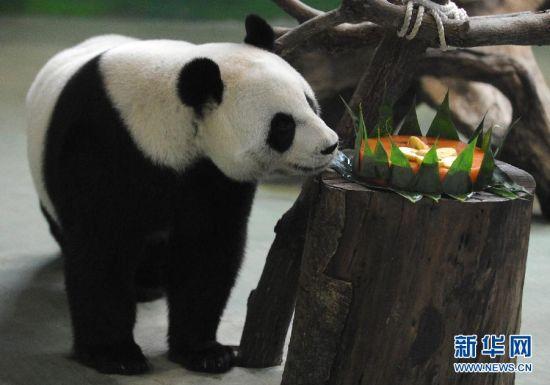 """大熊猫""""圆圆""""在吃工作人员为其准备的""""生日蛋糕""""。"""