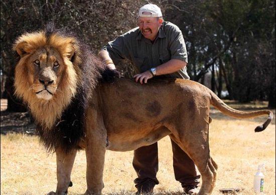 """50岁驯兽师拉伦茨演绎""""与狮共舞""""。"""