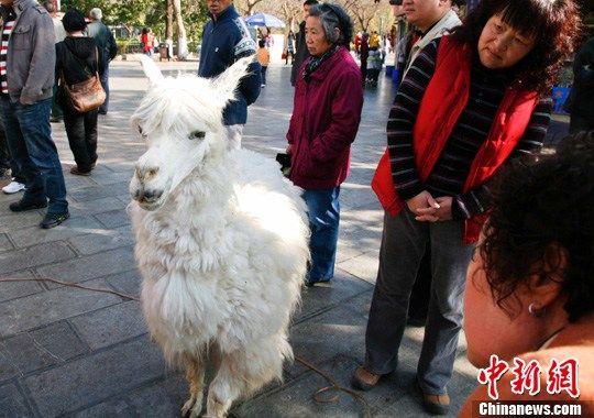 """图为被网友戏称为""""神兽""""的羊驼标本一现身就受到市民的围观。中新社记者 刘冉阳 摄"""