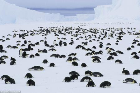 企鹅集体俯首哀悼死亡幼仔