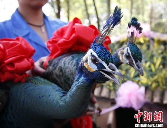 """绿孔雀""""夫妇""""正在""""拜堂""""。中新社记者 刘冉阳 摄"""