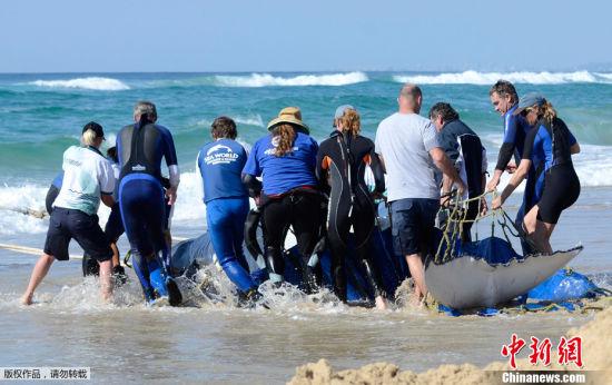 一头驼背鲸在澳大利亚黄金海岸搁浅。