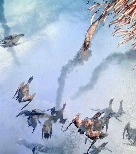 沙丁鱼群遭到俯冲下来的水鸟猛烈袭击。