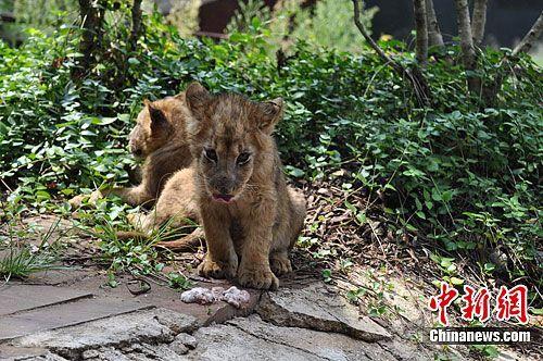 图为首批受训的非洲狮宝宝不习惯吃大块的肉,把刚刚吃进嘴里的肉吐出。中新社发 李丽 摄