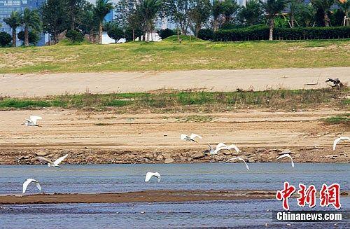 白鹭漫步湘江。