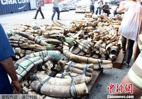 9月5日,在马来西亚首都吉隆坡的克朗港,海关工作人员展示新近缴获的象牙。