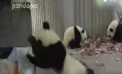 梅奶妈扫落叶 熊猫团子捣乱不止