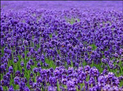 普罗旺斯:暖风和煦在薰衣草的花海中迷失
