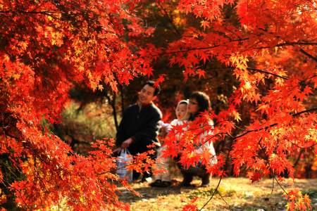 泉城枫叶红似火
