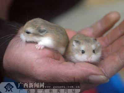 正文          广西新闻网南宁1月15日讯(实习生杨侃 农凯)农历鼠年将图片