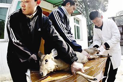 据介绍,麂子是国家二级保护野生动物.
