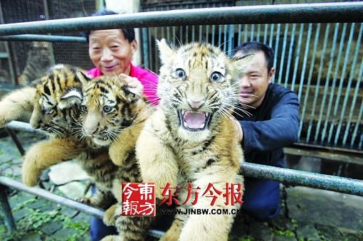老虎也遇住房难 驻马店南海动物园五只虎挤17平方米