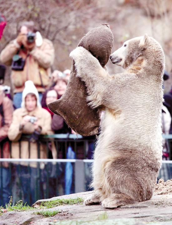 12月5日,明星北极熊克努特在德国柏林动物园玩耍。德国柏林动物园的明星北极熊克努特当日迎来两岁生日。然而,受金融危机影响,动物园今年非但不准备给它举办生日晚会,还宣布将尽早把它送走。克努特也因此成为金融风暴后第一只受害熊