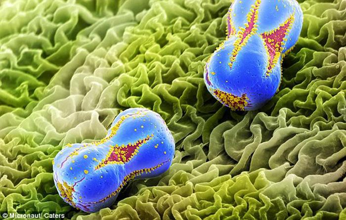 惊艳之美:花粉颗粒放大后呈现令人窒息的美(高清组图)