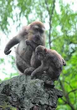 猕猴重回四川龙门山