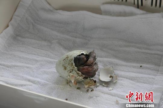 努力诞生的朱鹮宝宝。   中新网上海6月1日电 (记者 陈静)1日,阔别上海近半个世纪后的第一只朱鹮宝宝诞生。   有着鸟中东方宝石之称的朱鹮,今年3月22日从陕西落户上海野生动物园。4月29日,饲养员在朱鹮岛草坪上发现了一枚完好无损的朱鹮蛋,于是把它送到了小动物乐园,进行人工孵化。   园方告诉记者,孵化器是从韩国进口的,里面的环境温度、湿度、转蛋的角度和频率都模拟亲鸟孵化。可是,在同一孵化室,同一时期放入的一些雉鸡宝宝都纷纷出世了,小朱鹮却一直按兵不动。这可急坏了饲养员,难道这颗蛋未受精? 直