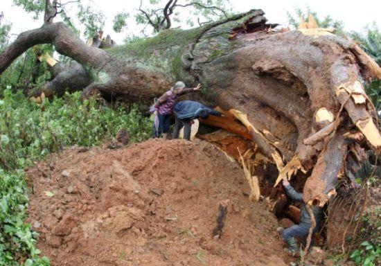 千年香樟树被连根拔起