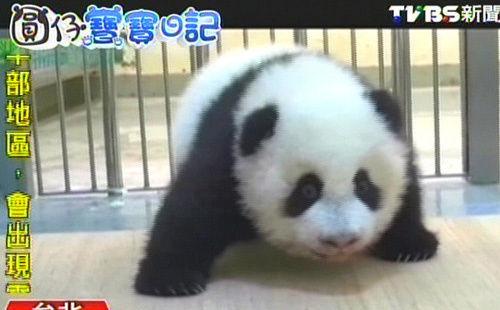 赠台大熊猫宝宝圆仔摇晃学走路太可爱 再登cnn