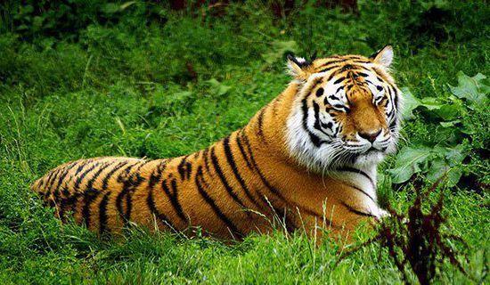 老虎的外貌特征