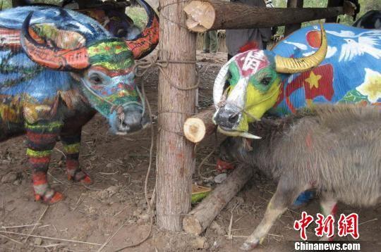 图为牛体彩绘大赛上的三口之家。 胡远航 摄   中新网普洱12月10日电(胡远航)请二十号作品上场,二十一号作品准备。请让二十七号作品转一圈。10日,中老越三国艺术家在云南江城开展了一场别开生面的牛体彩绘大赛。伴随着播报声,40多头色彩斑斓的水牛一一上台,让记者和数万游客目睹了一场闻所未闻的彩牛走秀表演。   牛体彩绘就是画师用画笔和斑斓的色彩,在活牛身上绘制出一幅幅绚丽多姿的画作。相传,在中国、老挝、越南三国边地,一位名叫龙嘎的哈尼小伙带着自家水牛春耕时遭遇了一只猛虎。在激烈打斗中,