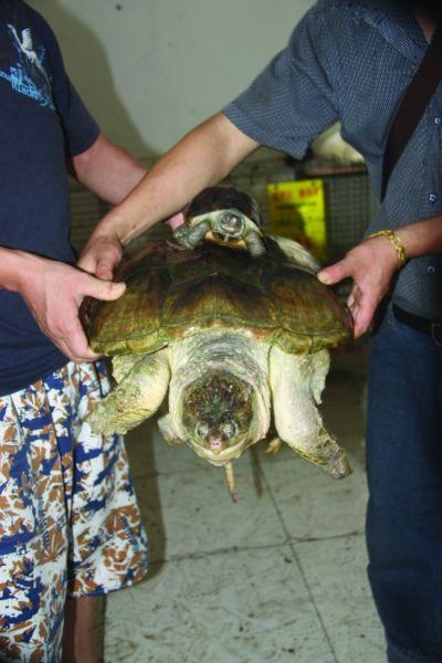 逮到13公斤大乌龟 体重竟达13公斤图片