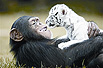 猩猩当小白虎养母