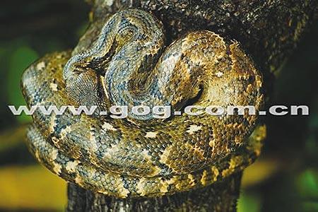 属梵净山重点保护动物之一的五步蛇