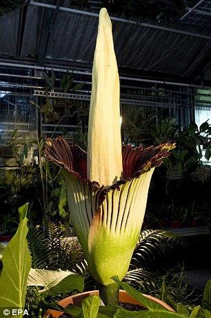 花朵发出的类似于腐尸的臭味甚至在半英里(约800米)之外都可以闻到