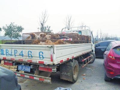 这辆运狗的车被爱狗人士围堵了起来