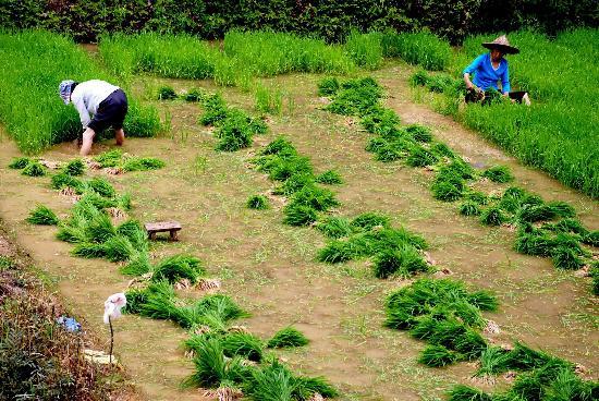 图文:江西婺源天气放晴当地农民抓住时机插秧