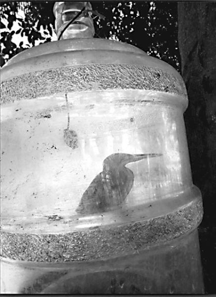 网帖曝光小鸟被装进纯净水桶喂养(图)