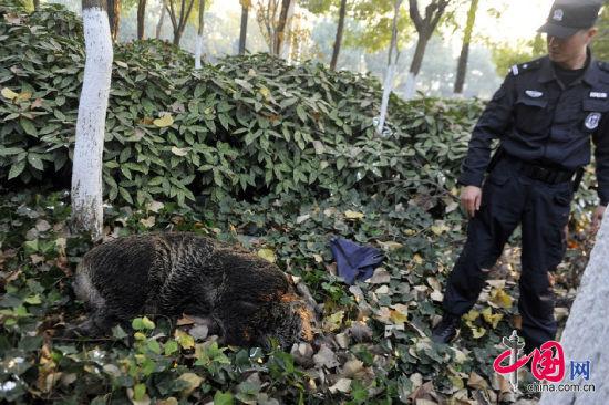 2014年11月21日,合肥市经开区天都路和芙蓉路交口,一头三百多斤的野猪横穿马路。被发现后野猪受惊,连续撞上四名正在工作的绿化工人。