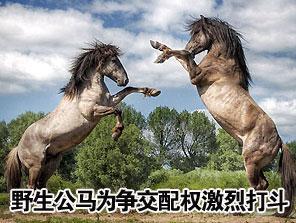 野生公马为争交配权激烈打斗