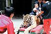 虎被粗绳缠身供人骑