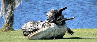 """美两巨鳄高尔夫球场""""厮杀""""场面震撼"""