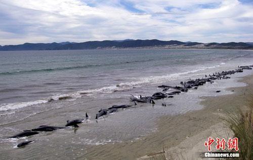 百余头巨头鲸在新西兰偏远海滩搁浅并死亡