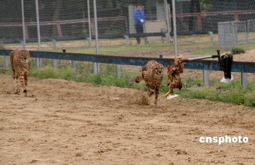 研究:猎豹最高奔跑速度无法达到每小时120公里