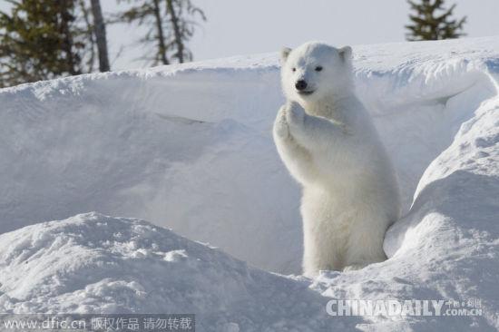 国际北极熊日:出没生灵图片最呆萌的可爱冰雪[1]-中国日报网熊看看小世界的乌龟图片