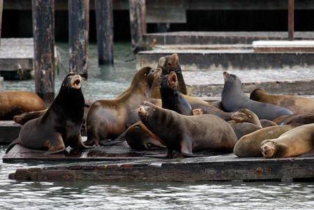 组图:旧金山码头海狮晒太阳成为热门景点